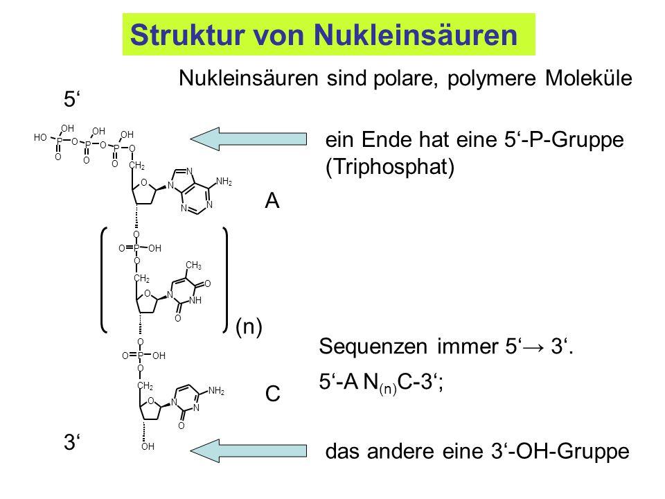 ein Ende hat eine 5-P-Gruppe (Triphosphat) das andere eine 3-OH-Gruppe Nukleinsäuren sind polare, polymere Moleküle 5-A N (n) C-3; NH 2 CH 2 NH 2 N N