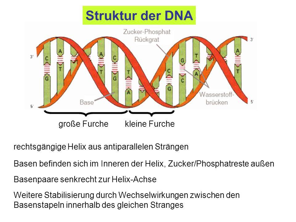 Weitere Stabilisierung durch Wechselwirkungen zwischen den Basenstapeln innerhalb des gleichen Stranges Basen befinden sich im Inneren der Helix, Zuck