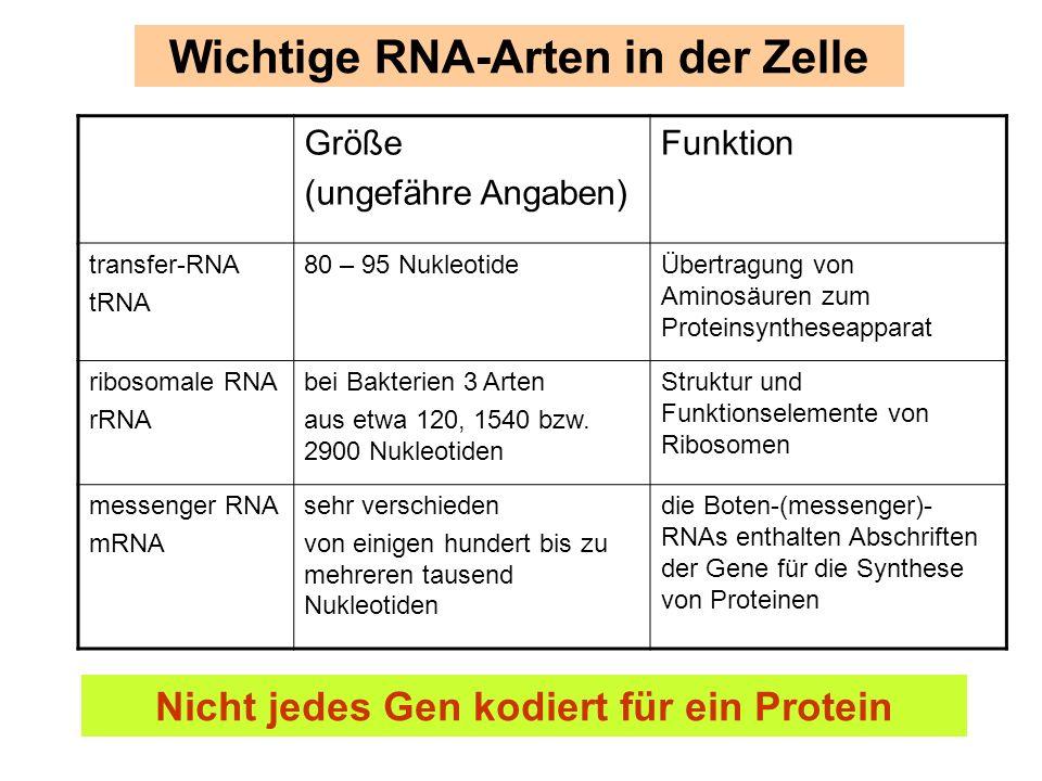 Wichtige RNA-Arten in der Zelle Größe (ungefähre Angaben) Funktion transfer-RNA tRNA 80 – 95 NukleotideÜbertragung von Aminosäuren zum Proteinsynthese