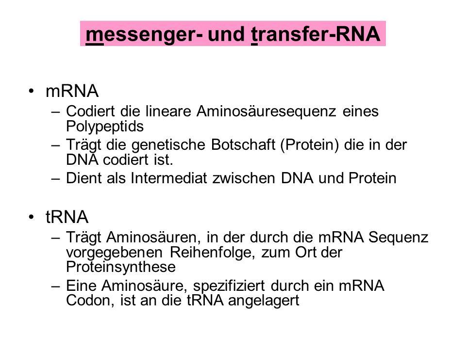 mRNA –Codiert die lineare Aminosäuresequenz eines Polypeptids –Trägt die genetische Botschaft (Protein) die in der DNA codiert ist. –Dient als Interme
