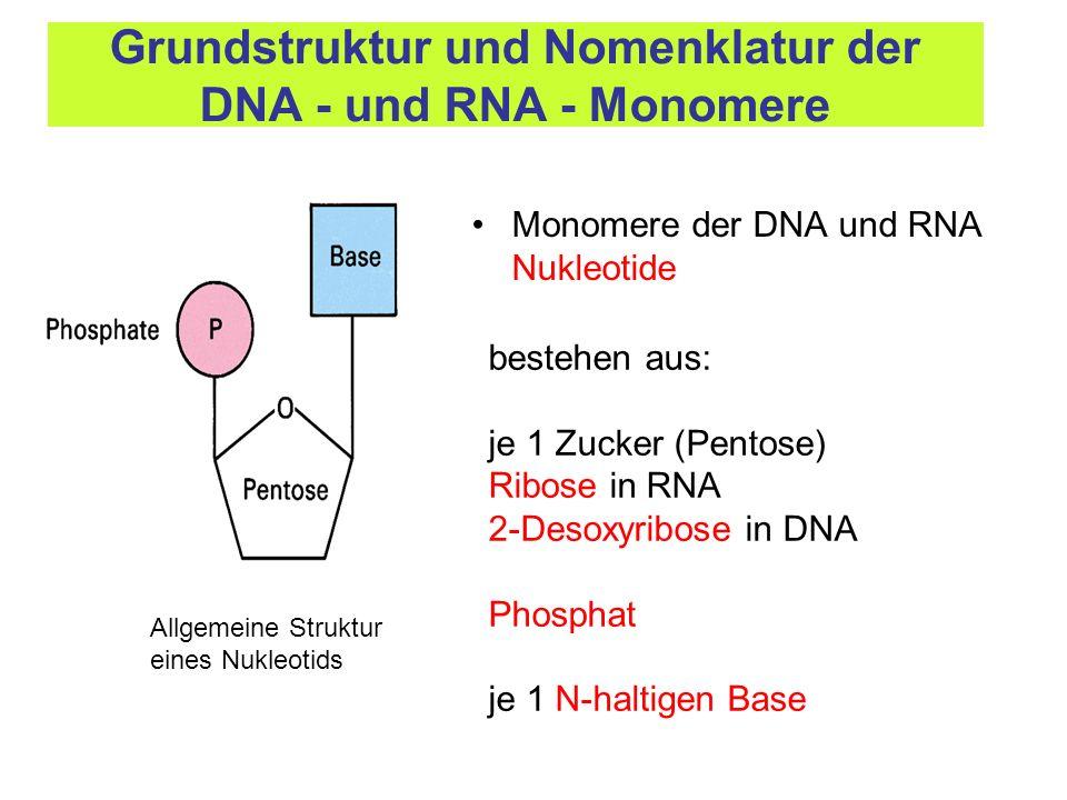 Bausteine sind Nukleosidtriphosphate (NTP) DNA – dNTP (dATP, dTTP, dGTP, dCTP) RNA – NTP (ATP, UTP, GTP, CTP) Synthese (Kondensationsreaktion) erfolgt durch spezielle Enzyme DNA- und RNA-Polymerasen Synthese erfolgt an einem Musterstrang (Matrize) durch die Basenabfolge im Musterstrang ist die Basenabfolge im neu synthetisierten Strang festgelegt, komplementäre Basenpaarung Synthese erfolgt ausschließlich in 5 – 3 Richtung Allgemeine Prinzipien der Nukleinsäuresynthese