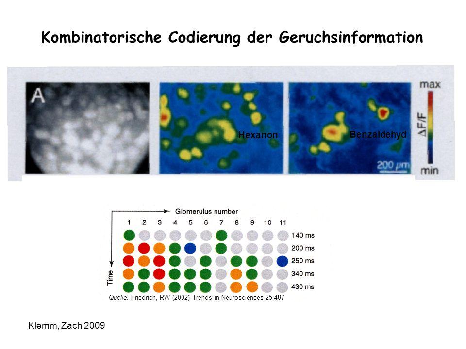 Kombinatorische Codierung der Geruchsinformation Hexanon Benzaldehyd Quelle: Friedrich, RW (2002) Trends in Neurosciences 25:487 Klemm, Zach 2009