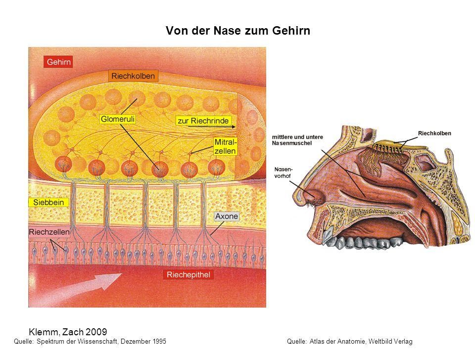 Von der Nase zum Gehirn Quelle: Spektrum der Wissenschaft, Dezember 1995 Quelle: Atlas der Anatomie, Weltbild Verlag Klemm, Zach 2009