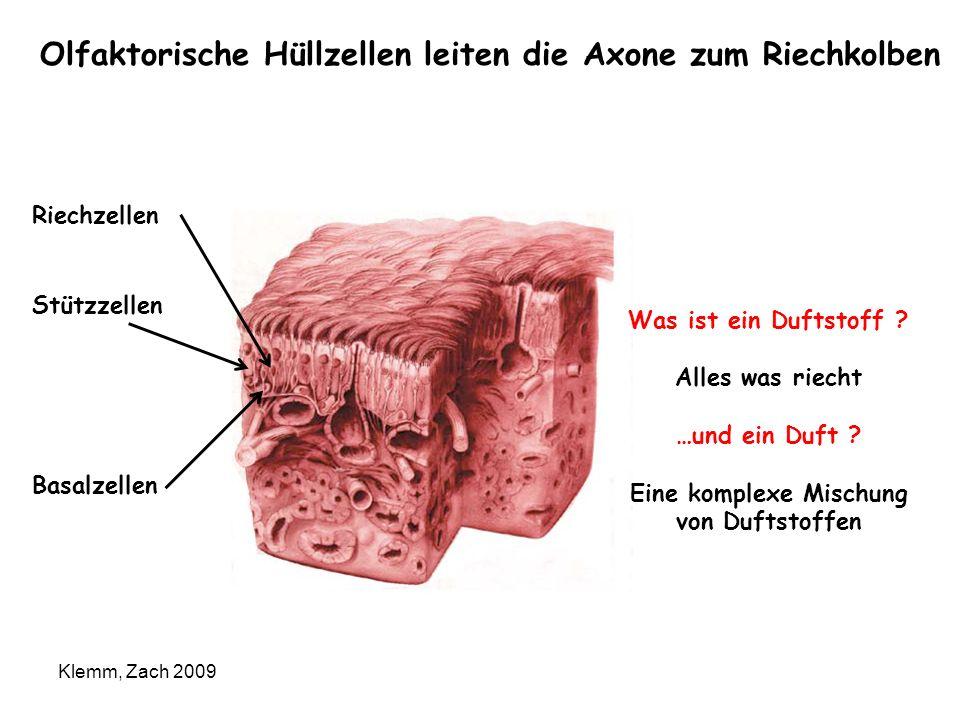Olfaktorische Hüllzellen leiten die Axone zum Riechkolben Klemm, Zach 2009 Riechzellen Stützzellen Basalzellen Was ist ein Duftstoff ? Alles was riech