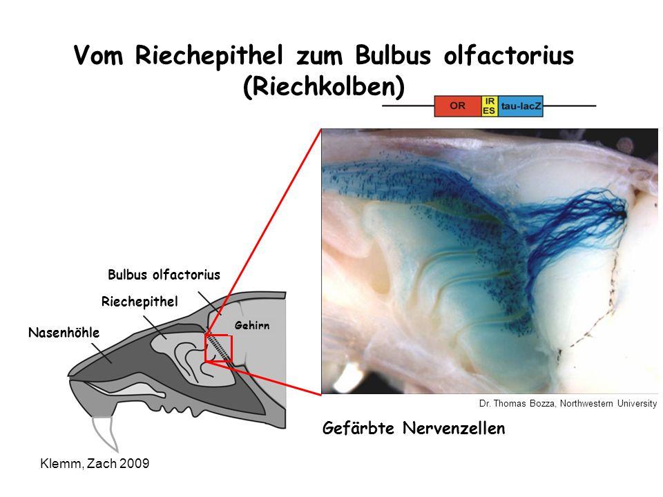 Dr. Thomas Bozza, Northwestern University Vom Riechepithel zum Bulbus olfactorius (Riechkolben) Bulbus olfactorius Riechepithel Nasenhöhle Gehirn Gefä