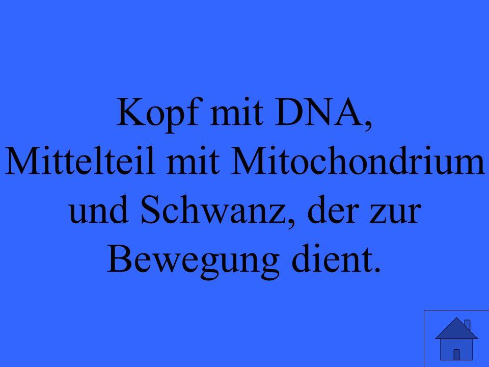 Kopf mit DNA, Mittelteil mit Mitochondrium und Schwanz, der zur Bewegung dient.