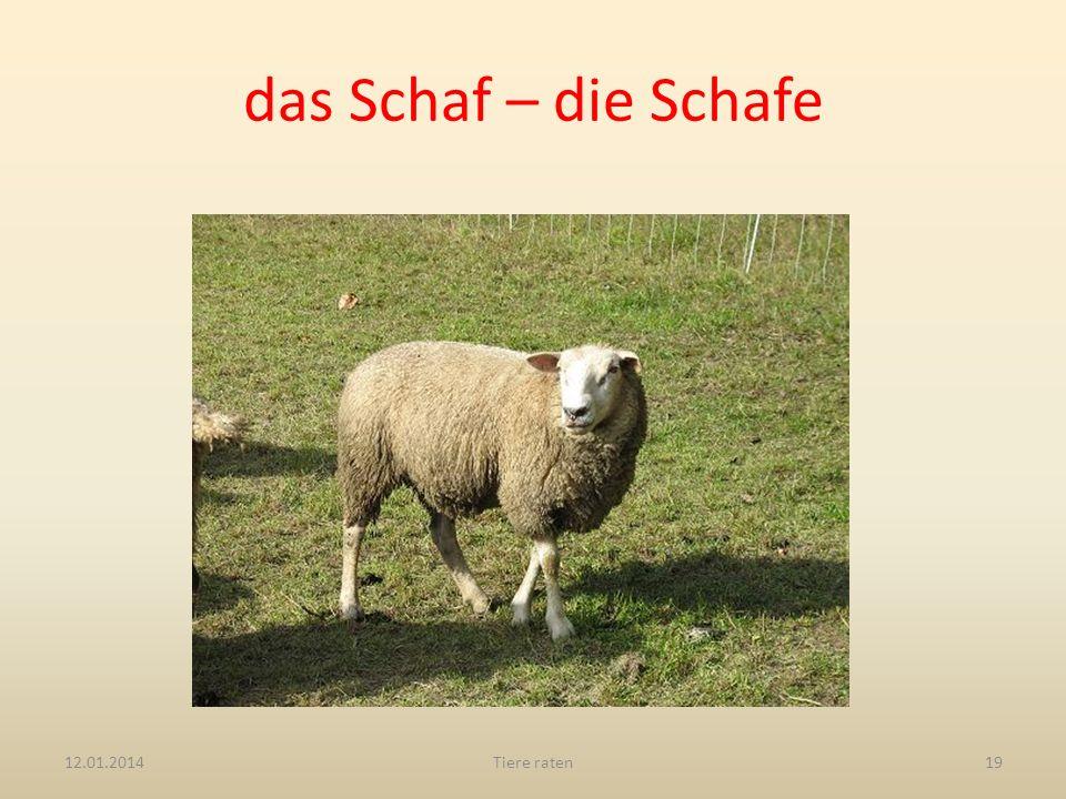 das Schaf – die Schafe 12.01.2014Tiere raten19