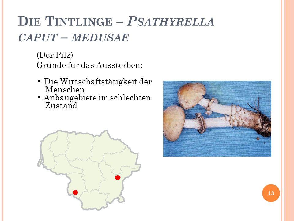 D IE T INTLINGE – P SATHYRELLA CAPUT – MEDUSAE (Der Pilz) Gründe für das Aussterben: Die Wirtschaftstätigkeit der Menschen Anbaugebiete im schlechten Zustand 13
