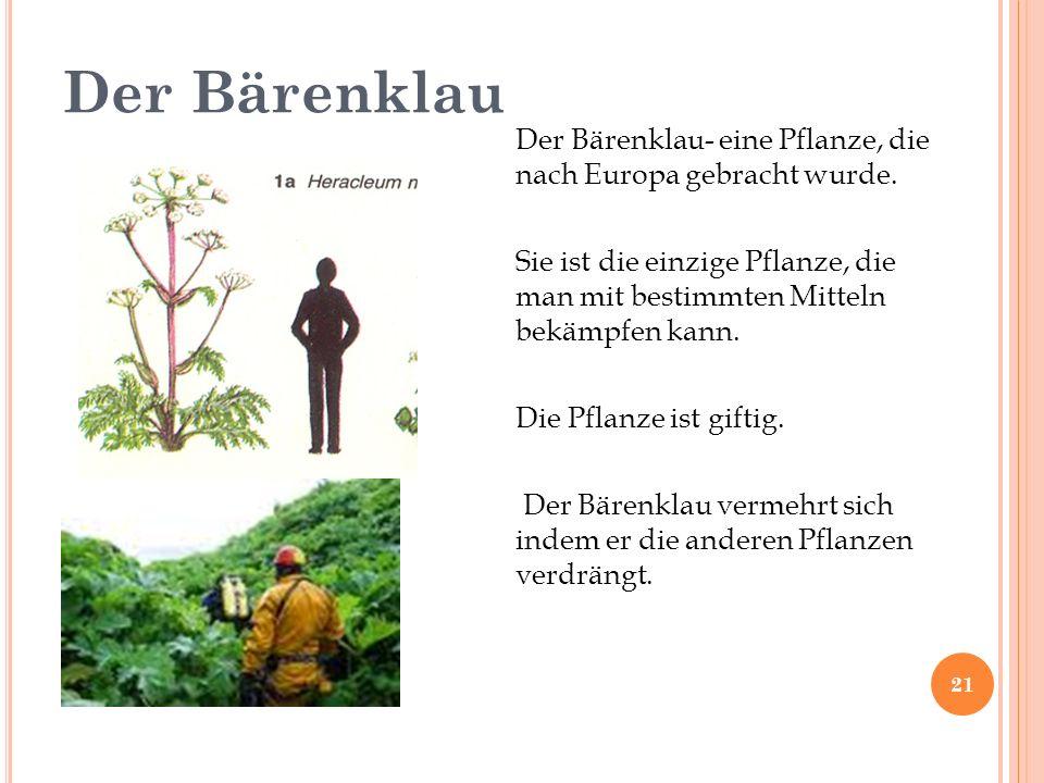 Der Bärenklau Der Bärenklau- eine Pflanze, die nach Europa gebracht wurde.