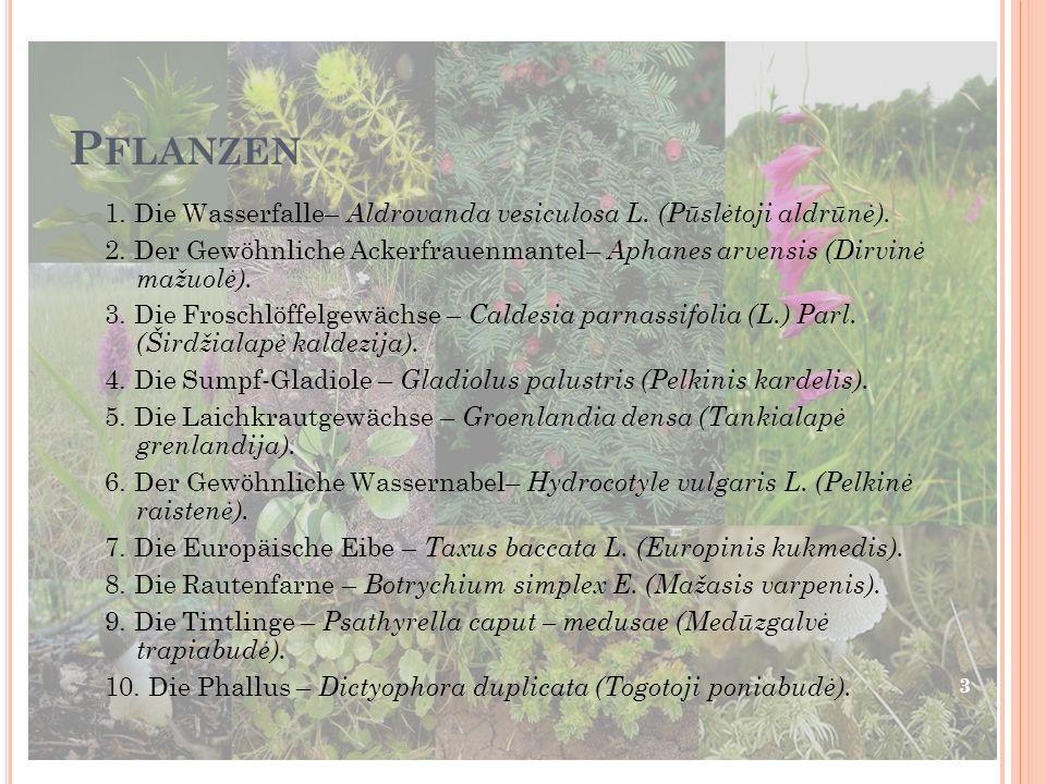 P FLANZEN 1.Die Wasserfalle– Aldrovanda vesiculosa L.