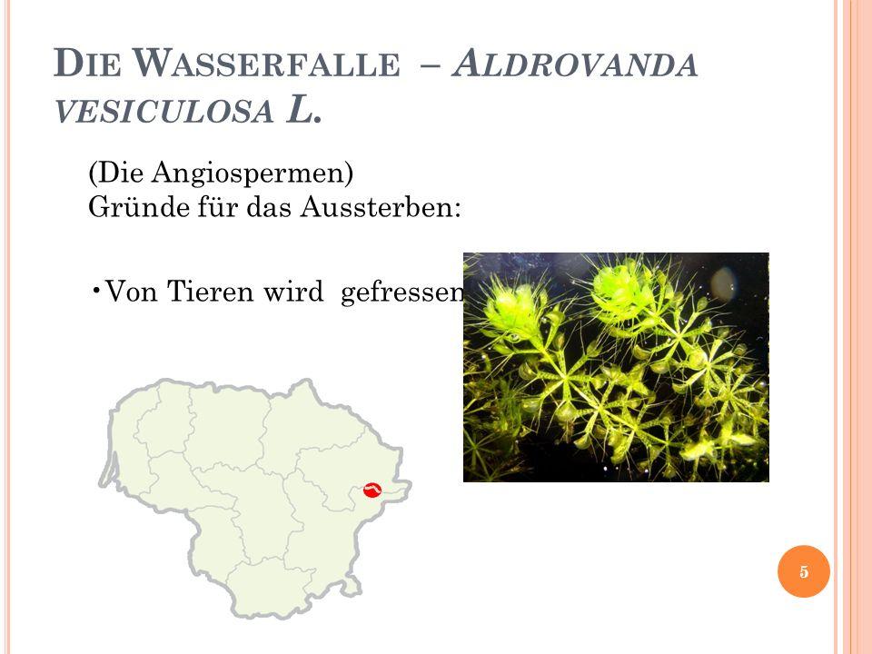 D IE W ASSERFALLE – A LDROVANDA VESICULOSA L.