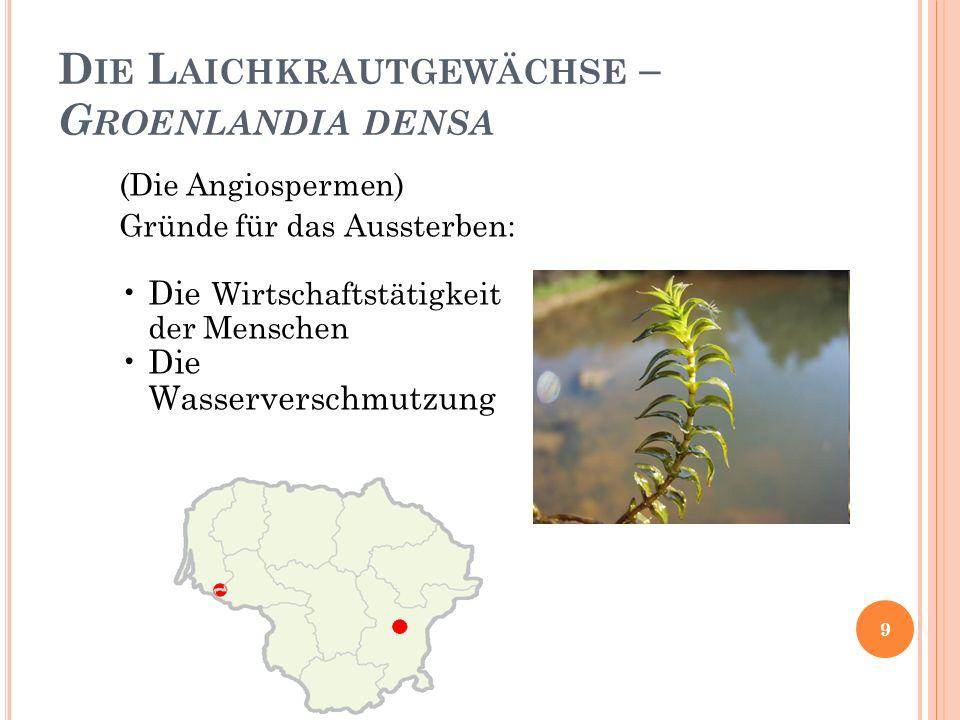 D IE L AICHKRAUTGEWÄCHSE – G ROENLANDIA DENSA (Die Angiospermen) Gründe für das Aussterben: Die Wirtschaftstätigkeit der Menschen Die Wasserverschmutzung 9