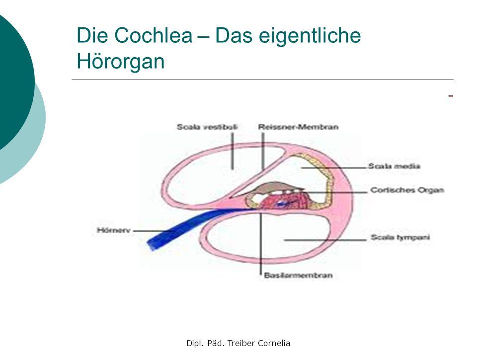 Dipl. Päd. Treiber Cornelia Die Cochlea – Das eigentliche Hörorgan