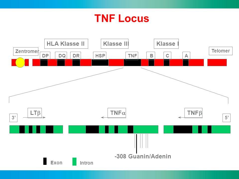 Telomer DP DQDRHSPTNFA BC Zentromer Klasse IIIKlasse IHLA Klasse II LT TNF Exon Intron 53 -308 Guanin/Adenin TNF Locus Chromosom 6