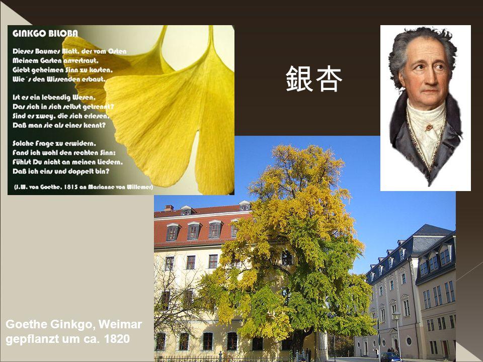I.Büchner 61 Goethe Ginkgo, Weimar gepflanzt um ca. 1820