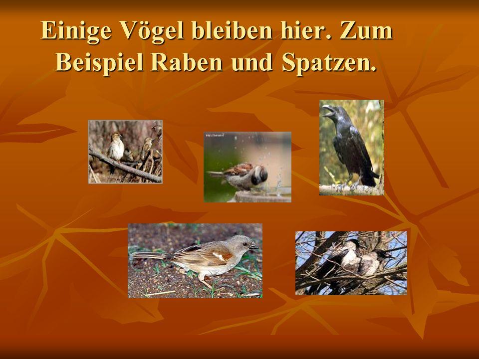 Einige Vögel bleiben hier. Zum Beispiel Raben und Spatzen.
