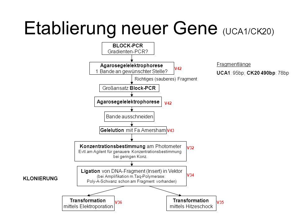 Ausstreichen auf LB-Platten Inkubation bei 37°C über Nacht (ÜN) Weiße Bakterienkolonien Blaue Bakterienkolonie Einbau des Fragments in Vektor in LAC-Z-Gen o.gar kein Plasmid enthalten keine Umwandlung X-GAL Kein Einbau des Fragments in Vektor Umwandlung X-GAL Klone picken (ca.2-4) Jeweils 1 Einzelkolonie in 2ml LB-Medium+Antibiotika (Verhinderung Wachstum anderer Kolonien) Agarplatte mit restlichen Kolonien verbleibt bis zum Ende der Klonierung (mit Plastikfolie abgedeckt) im Kühlschrank Nachpicken jederzeit möglich Plasmid-Minipräparation von allen gepickten Klonen Kontrollverdau mit NotI bzw.EcoRI (1,5ml) Agarosegelelektrophorese mit Verdau-Ansatz+unverdauten Ansatz 2 Banden im verdauten Ansatz (Vektor+Fragment) Sequenzierung durch GATC (mind.1-2 Klone mit gewünschtem Fragment; 30µl Plasmid-DNA (100ng/µl) GVO (genet.veränderter Organismus) von allen Klonen, die laut Sequenzierung gewünschtes Fragment enthalten (ca.2) V37 V42 V41 Blue-White-Screening Inkubation ÜN bei 37°C in Schütteltruhe bei 300rpm Nachzucht Klon mit gewünschtem Fragment (0,5ml) 0,5ml Baktriensuspension+2 0der 4ml LB-Medium Inkubation ÜN (auf diese Art immer wieder mgl.Klone hochzuzüchten) Falls Menge des Plasmidpräp nicht ausreichend