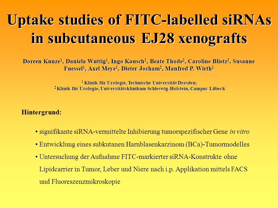 Ergebnisse Fluoreszenzmikroskopieaufnahmen (200x) subkutan xenotransplantierter EJ28-Zellen nach Behandlung mit 100 µg FITC-markierter siRNA 12 h bis 84 h nach intraperitonealer Injektion.