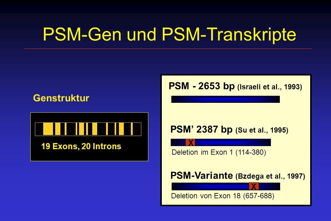 PSM-Gen und PSM-Transkripte 19 Exons, 20 Introns Genstruktur PSM 2387 bp (Su et al., 1995) X PSM - 2653 bp (Israeli et al., 1993) PSM-Variante (Bzdega