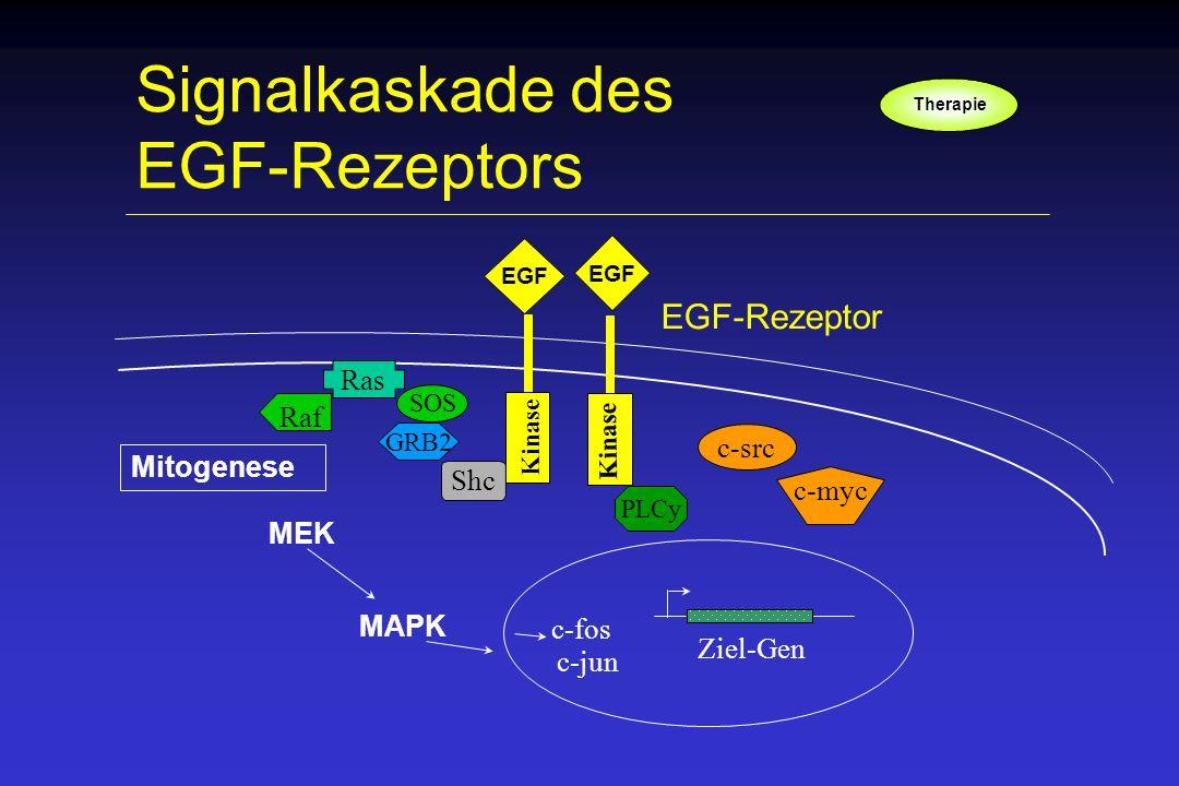 Signalkaskade des EGF-Rezeptors EGF Kinase EGF Shc GRB2 Ras SOS MEK MAPK Mitogenese Ziel-Gen c-fos c-jun c-src PLCy Raf EGF-Rezeptor c-myc Therapie