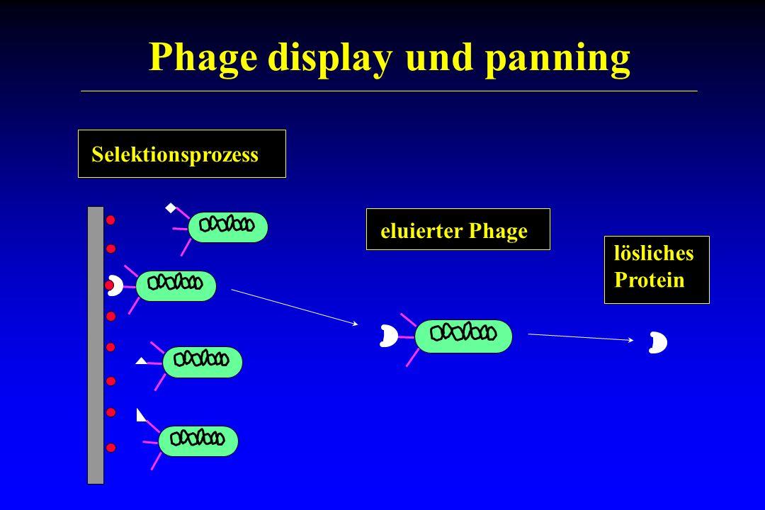 Phage display und panning lösliches Protein eluierter Phage Selektionsprozess