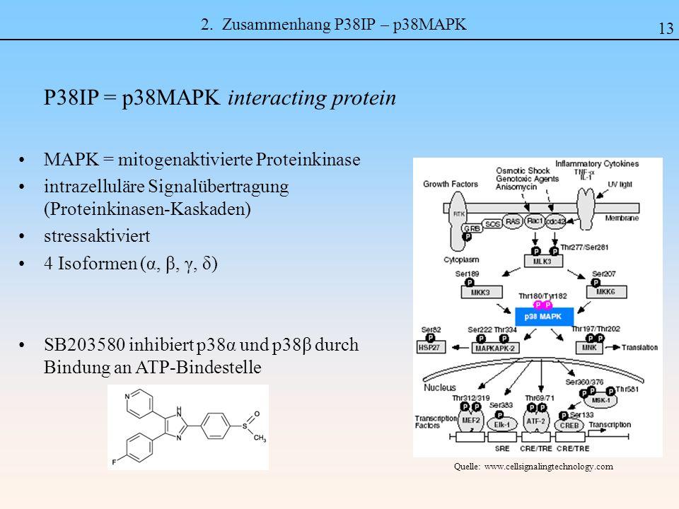 2. Zusammenhang P38IP – p38MAPK P38IP = p38MAPK interacting protein MAPK = mitogenaktivierte Proteinkinase intrazelluläre Signalübertragung (Proteinki