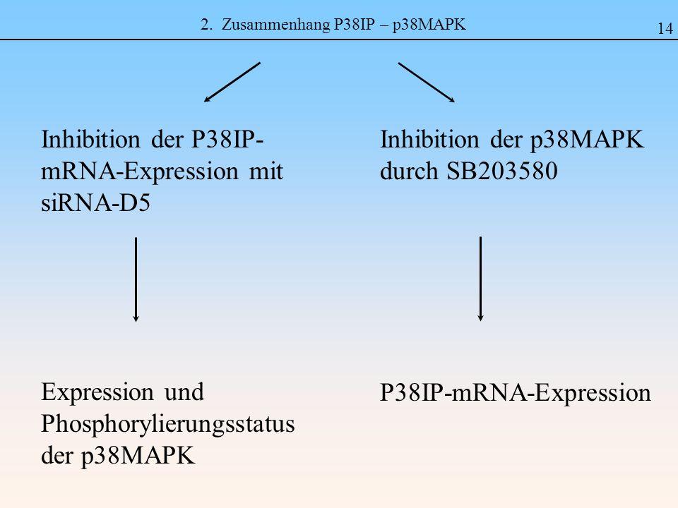 2. Zusammenhang P38IP – p38MAPK Inhibition der p38MAPK durch SB203580 P38IP-mRNA-Expression Inhibition der P38IP- mRNA-Expression mit siRNA-D5 Express