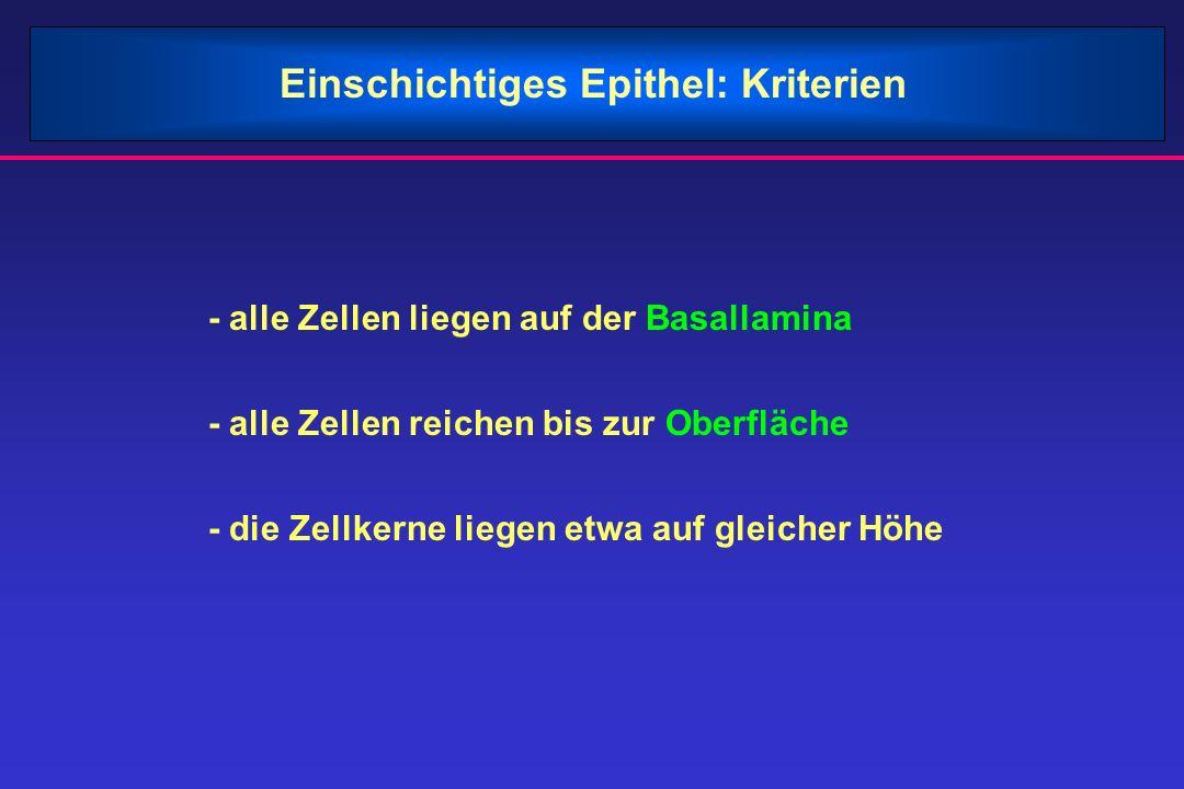 Einschichtiges Epithel: Kriterien - alle Zellen liegen auf der Basallamina - alle Zellen reichen bis zur Oberfläche - die Zellkerne liegen etwa auf gl
