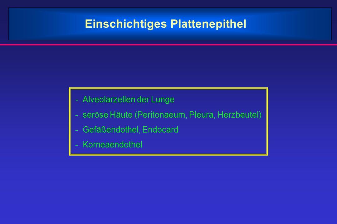 Einschichtiges Plattenepithel - Alveolarzellen der Lunge - seröse Häute (Peritonaeum, Pleura, Herzbeutel) - Gefäßendothel, Endocard - Korneaendothel
