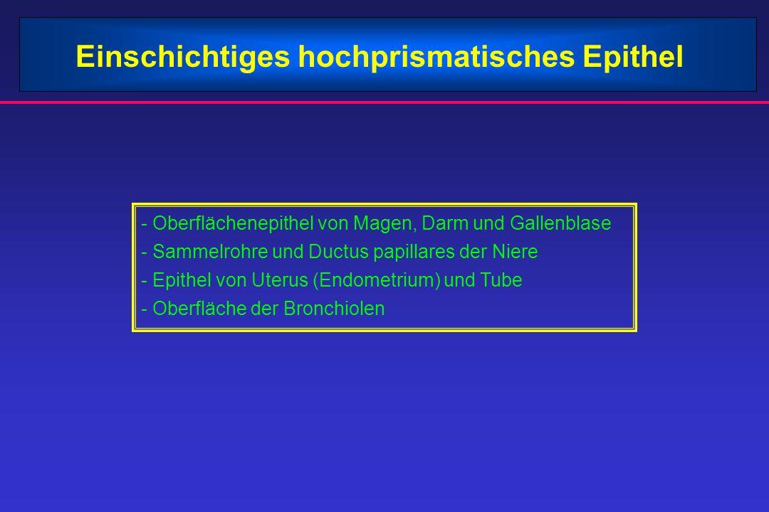 Einschichtiges hochprismatisches Epithel - Oberflächenepithel von Magen, Darm und Gallenblase - Sammelrohre und Ductus papillares der Niere - Epithel