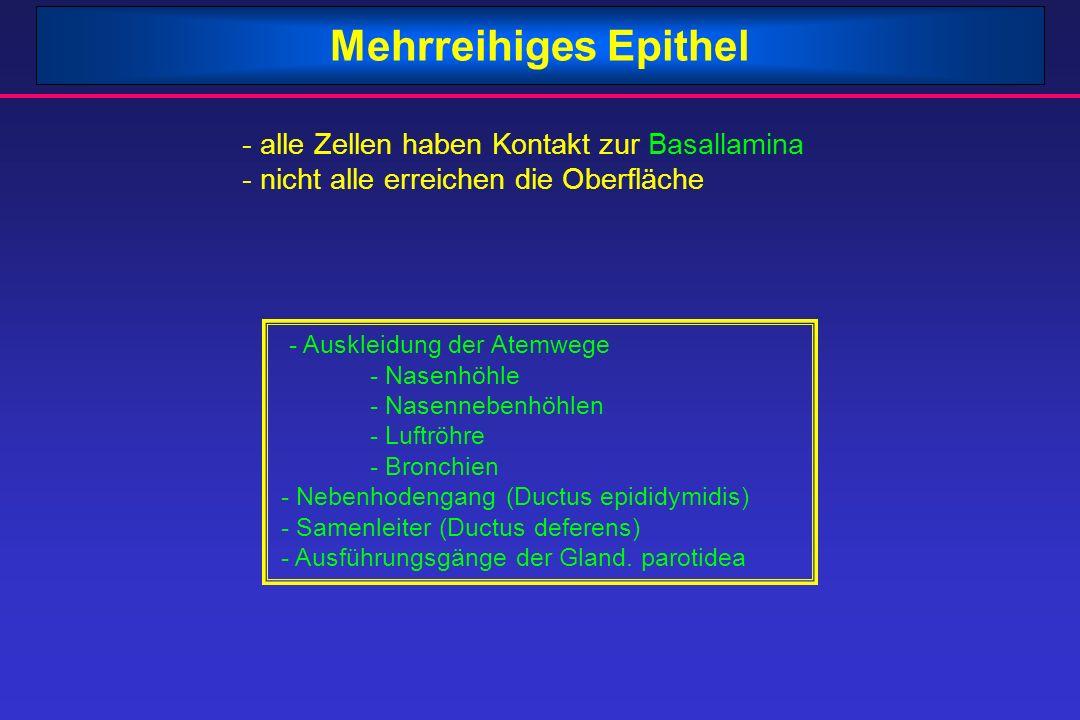 Mehrreihiges Epithel - alle Zellen haben Kontakt zur Basallamina - nicht alle erreichen die Oberfläche - Auskleidung der Atemwege - Nasenhöhle - Nasen