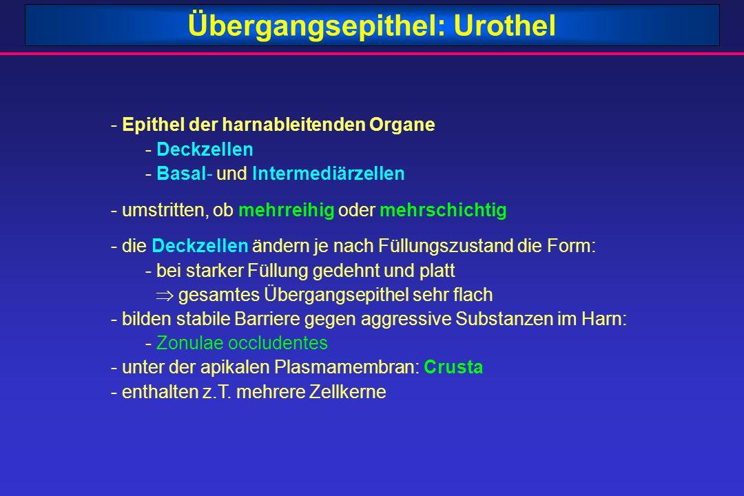 Übergangsepithel: Urothel - Epithel der harnableitenden Organe - Deckzellen - Basal- und Intermediärzellen - umstritten, ob mehrreihig oder mehrschich