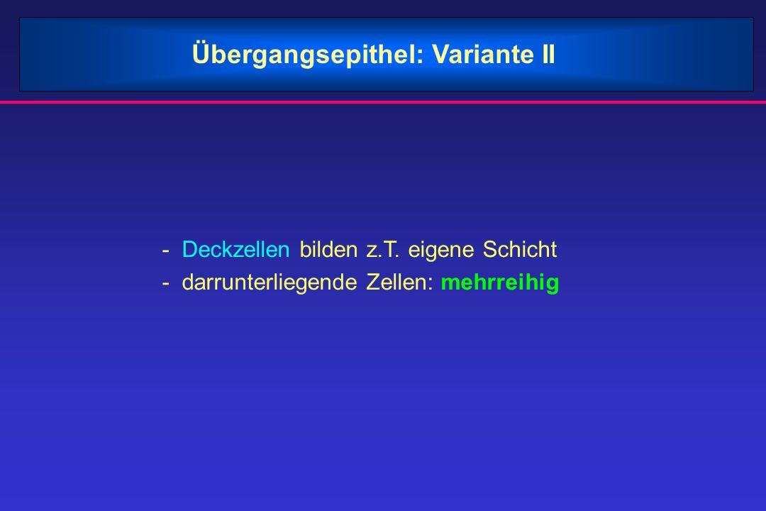 Übergangsepithel: Variante II - Deckzellen bilden z.T. eigene Schicht - darrunterliegende Zellen: mehrreihig