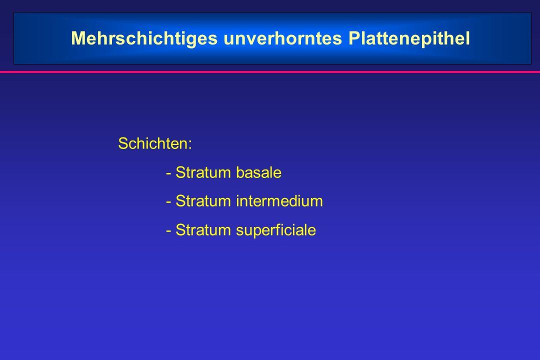 Mehrschichtiges unverhorntes Plattenepithel Schichten: - Stratum basale - Stratum intermedium - Stratum superficiale