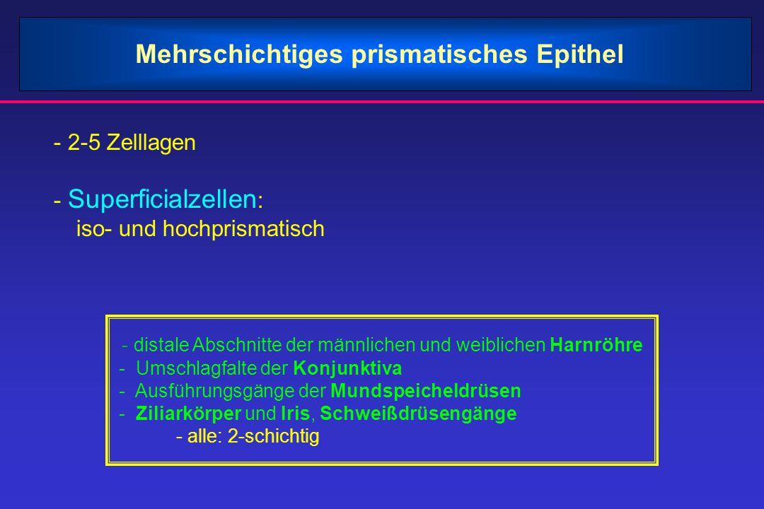 Mehrschichtiges prismatisches Epithel - 2-5 Zelllagen - Superficialzellen : iso- und hochprismatisch - distale Abschnitte der männlichen und weibliche