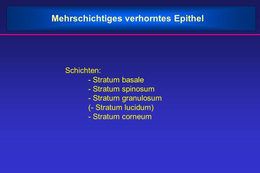 Mehrschichtiges verhorntes Epithel Schichten: - Stratum basale - Stratum spinosum - Stratum granulosum (- Stratum lucidum) - Stratum corneum