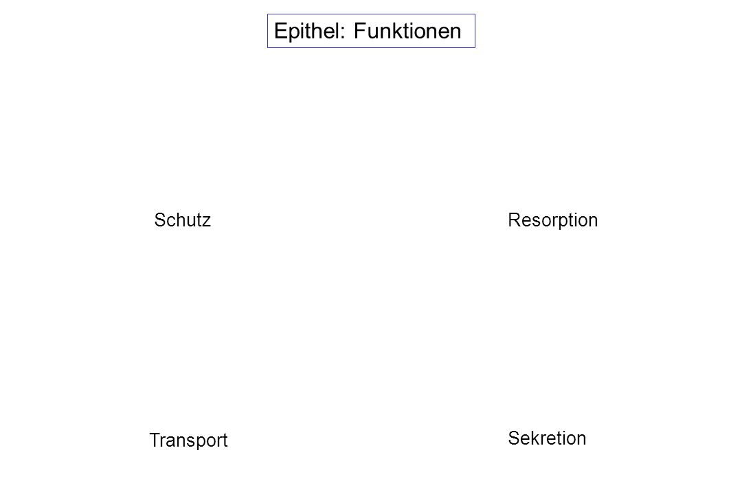 Epithel: Funktionen SchutzResorption Transport Sekretion