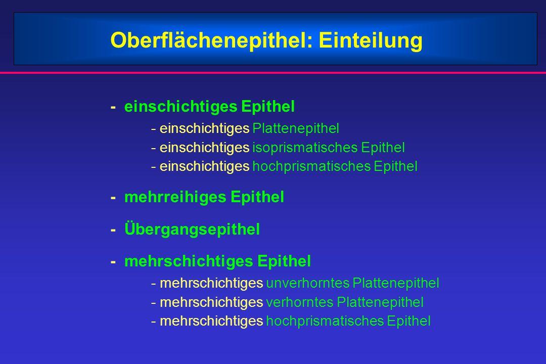 Oberflächenepithel: Einteilung - einschichtiges Epithel - einschichtiges Plattenepithel - einschichtiges isoprismatisches Epithel - einschichtiges hoc