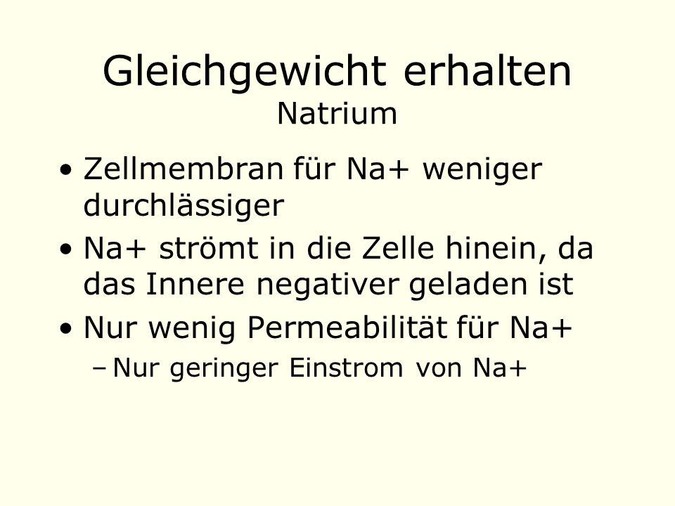 Gleichgewicht erhalten Natrium Zellmembran für Na+ weniger durchlässiger Na+ strömt in die Zelle hinein, da das Innere negativer geladen ist Nur wenig Permeabilität für Na+ –Nur geringer Einstrom von Na+