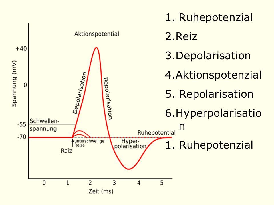 1.Ruhepotenzial 2.Reiz 3.Depolarisation 4.Aktionspotenzial 5.