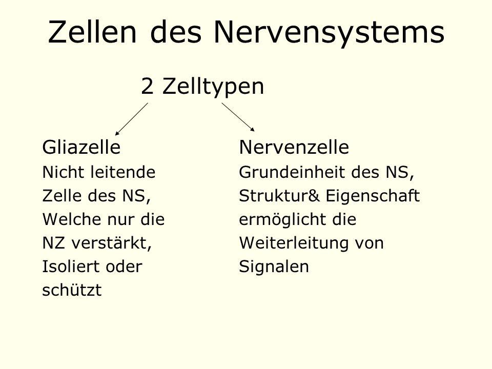 Zellen des Nervensystems 2 Zelltypen GliazelleNervenzelle Nicht leitendeGrundeinheit des NS, Zelle des NS, Struktur& Eigenschaft Welche nur die ermöglicht die NZ verstärkt, Weiterleitung von Isoliert oder Signalen schützt