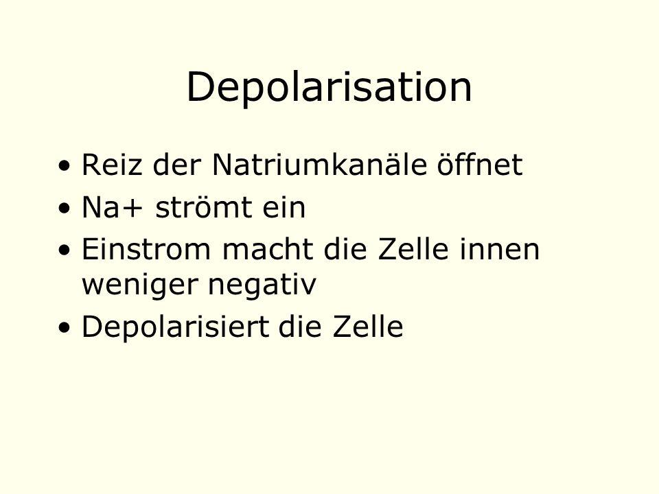 Depolarisation Reiz der Natriumkanäle öffnet Na+ strömt ein Einstrom macht die Zelle innen weniger negativ Depolarisiert die Zelle