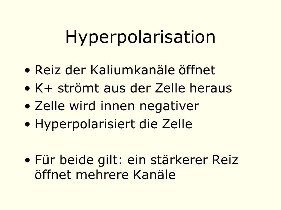 Hyperpolarisation Reiz der Kaliumkanäle öffnet K+ strömt aus der Zelle heraus Zelle wird innen negativer Hyperpolarisiert die Zelle Für beide gilt: ein stärkerer Reiz öffnet mehrere Kanäle