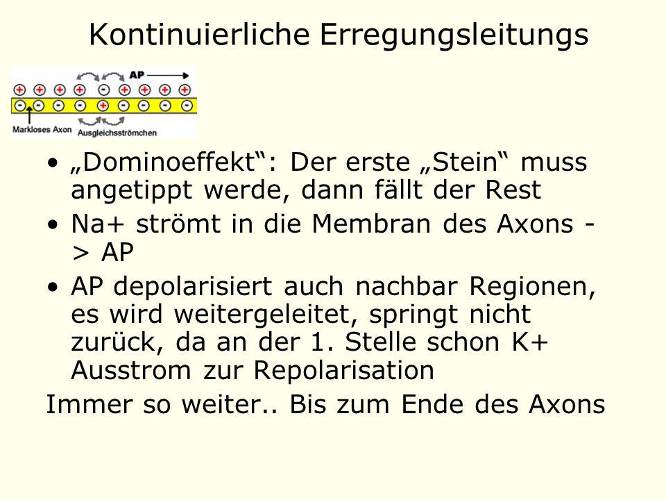 Kontinuierliche Erregungsleitungs Dominoeffekt: Der erste Stein muss angetippt werde, dann fällt der Rest Na+ strömt in die Membran des Axons - > AP AP depolarisiert auch nachbar Regionen, es wird weitergeleitet, springt nicht zurück, da an der 1.