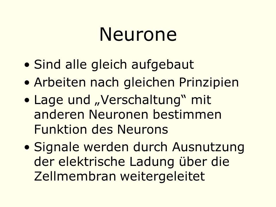 Neurone Sind alle gleich aufgebaut Arbeiten nach gleichen Prinzipien Lage und Verschaltung mit anderen Neuronen bestimmen Funktion des Neurons Signale werden durch Ausnutzung der elektrische Ladung über die Zellmembran weitergeleitet