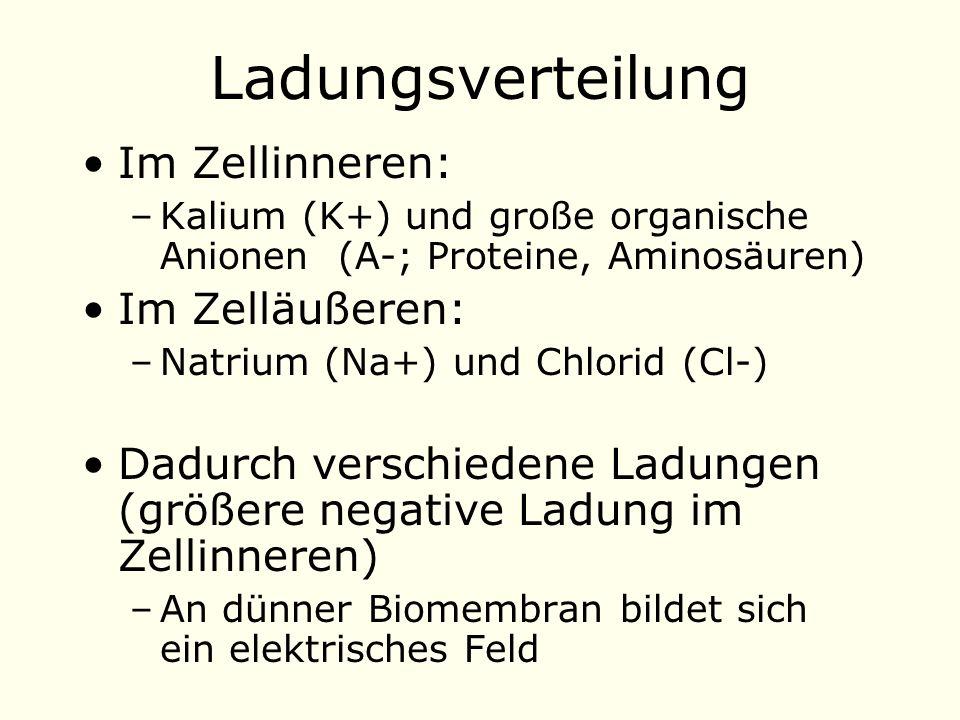 Im Zellinneren: –Kalium (K+) und große organische Anionen (A-; Proteine, Aminosäuren) Im Zelläußeren: –Natrium (Na+) und Chlorid (Cl-) Dadurch verschiedene Ladungen (größere negative Ladung im Zellinneren) –An dünner Biomembran bildet sich ein elektrisches Feld