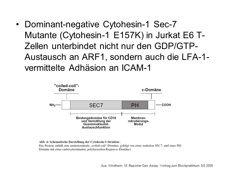 Dominant-negative Cytohesin-1 Sec-7 Mutante (Cytohesin-1 E157K) in Jurkat E6 T- Zellen unterbindet nicht nur den GDP/GTP- Austausch an ARF1, sondern a