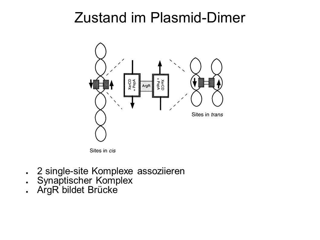 Zustand im Plasmid-Dimer 2 single-site Komplexe assoziieren Synaptischer Komplex ArgR bildet Brücke