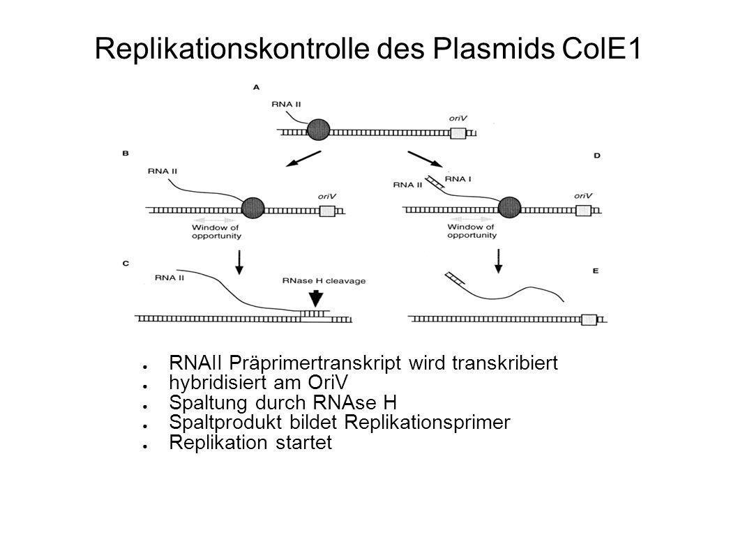 Replikationskontrolle des Plasmids ColE1 RNAII Präprimertranskript wird transkribiert hybridisiert am OriV Spaltung durch RNAse H Spaltprodukt bildet Replikationsprimer Replikation startet