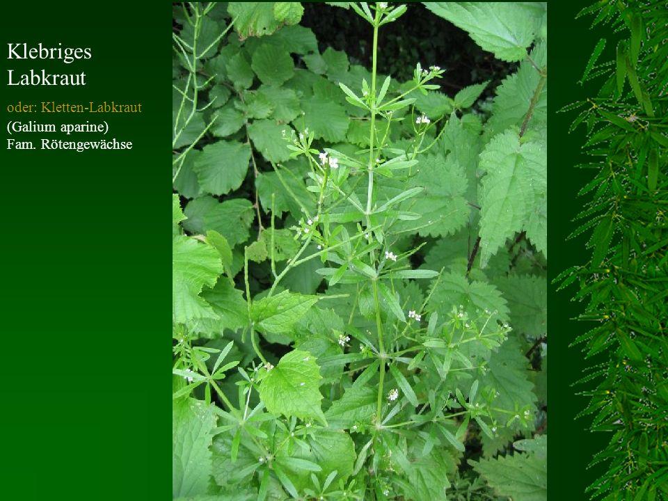 Klebriges Labkraut oder: Kletten-Labkraut (Galium aparine) Fam. Rötengewächse